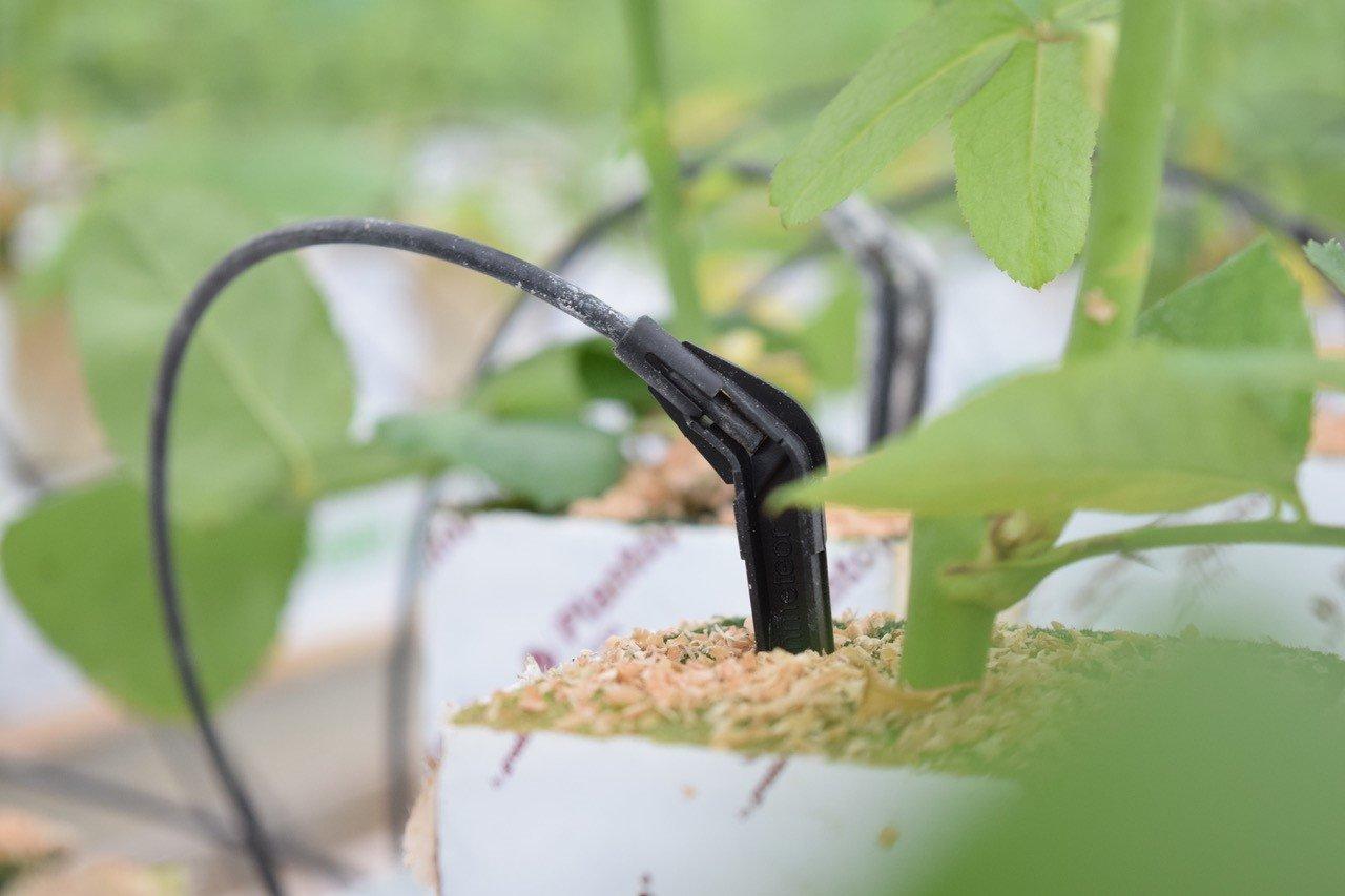 Rosenbewässerung | Dämmstoff